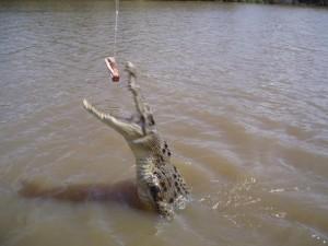 Ein krokodille i ei elv i Australia